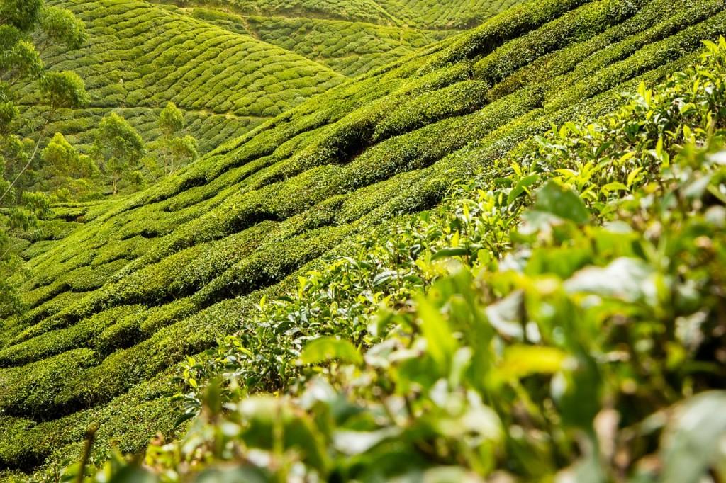 Najcjenjeniji je čaj iz prve berbe