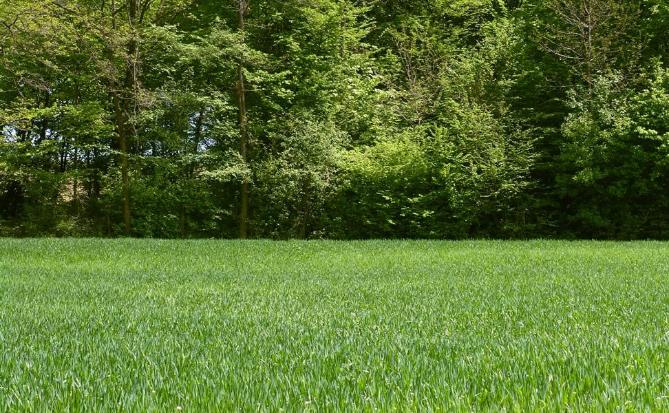 Uzgoj mlade zelene pšenice