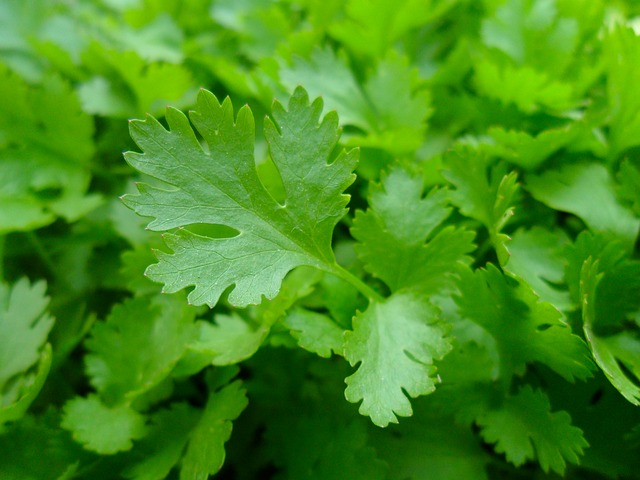 parsley-741996_640