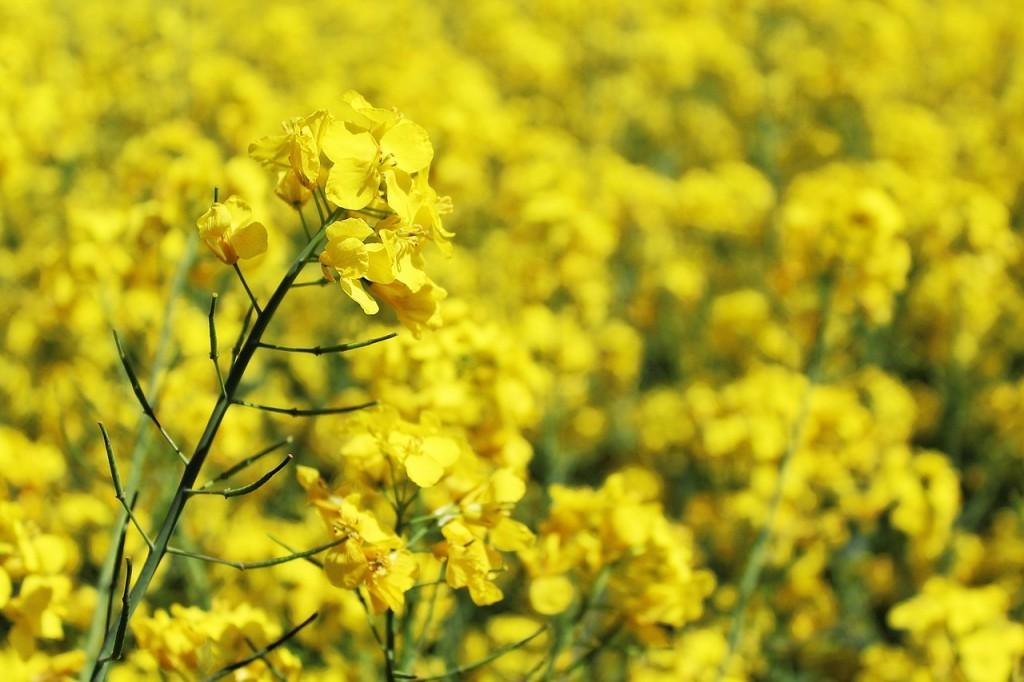 Jeste li znali da je uljana repica tako lijepa biljka?
